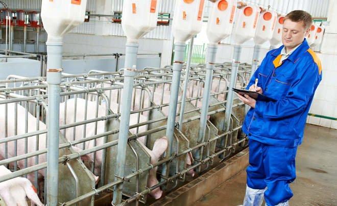 Нижнекамские прожекты «Бахетле-Агро»: 90 миллионов субсидии «сожрали» свиньи, которых не было
